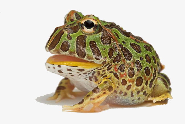 Hd Creative Horned Frogs Horned Frogs Pet Wild Animals Png Horned.