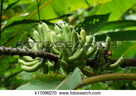 Stock Photography of Wild bananas. k17096270.
