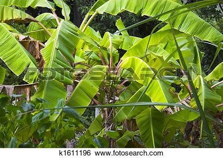 Stock Images of Wild Banana k1611196.