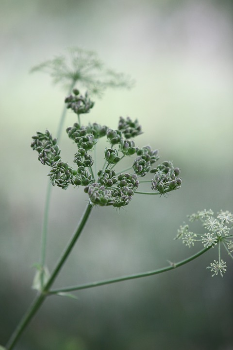 Free photo Wild Chervil Keck Wild Beaked Parsley Cow Parsley.