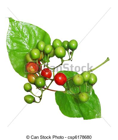 Stock Photography of Wild berry on vine.