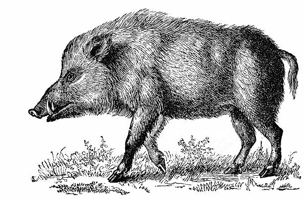 Best Wild Boar Illustrations, Royalty.