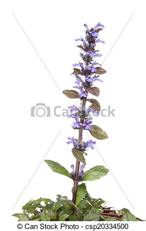 Stock Photography of Bugle plant.
