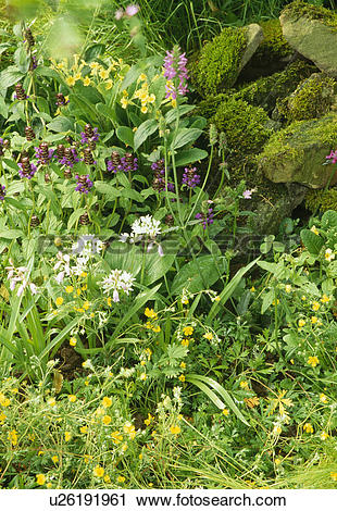 Stock Photography of Corner of a wild garden with alliums.