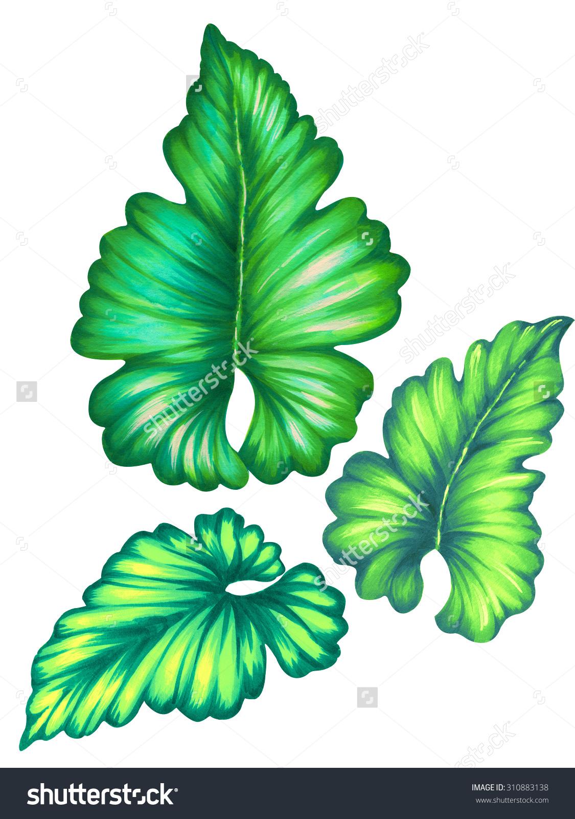 Set Isolated Detailed Tropical Leaves Caladium Stock Illustration.