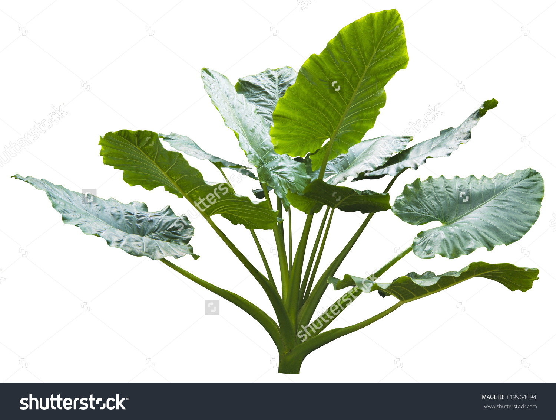 Giant Leaf Giant Alocasia Tree Caladium Stock Photo 119964094.