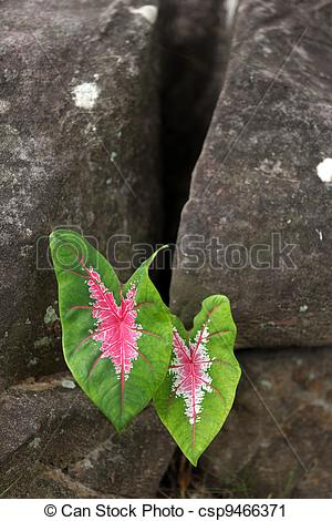 Stock Photography of caladium leaves in rock.
