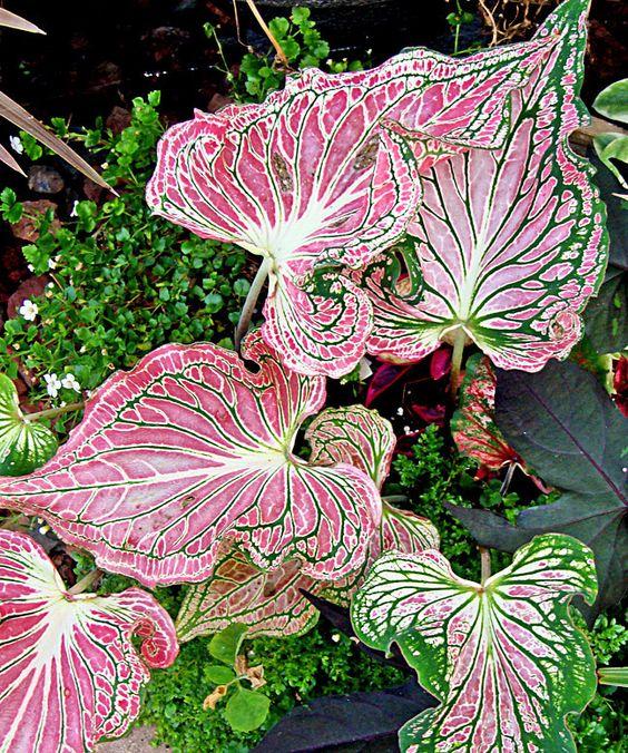 Caladium 'Thai Beauty': This caladium thrives in partial shade.