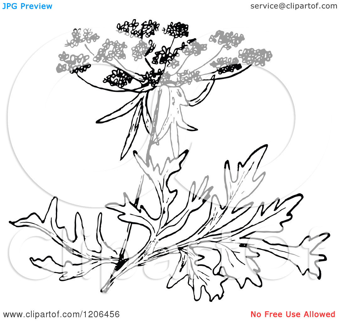 Clipart of a Vintage Black and White Wild Carrot Blossom.