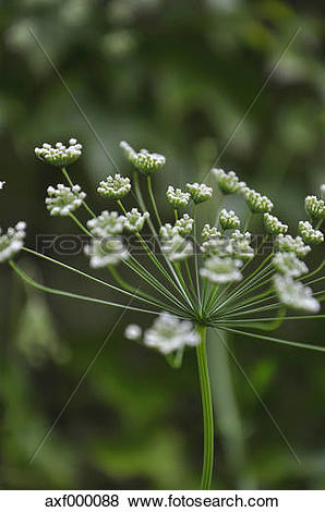 Pictures of Germany, Bavaria, View of wild carrot blossom.