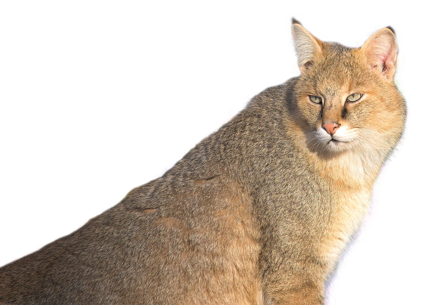 Jungle Cat PNG Image.