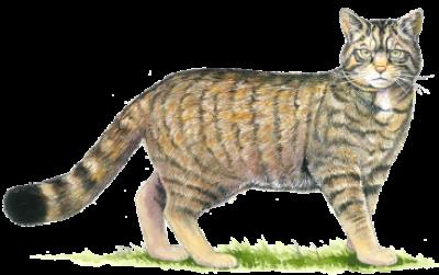 Download Free png Asiatic Wildcat /animals/wild cats/wild cat.