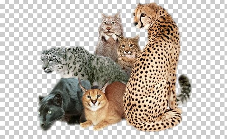 African Wildcat Cougar Felidae Leopard PNG, Clipart, African Wildcat.
