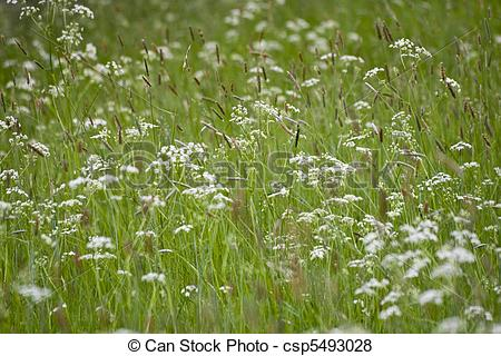 Pictures of wild chervil, Swedish summer csp5493028.