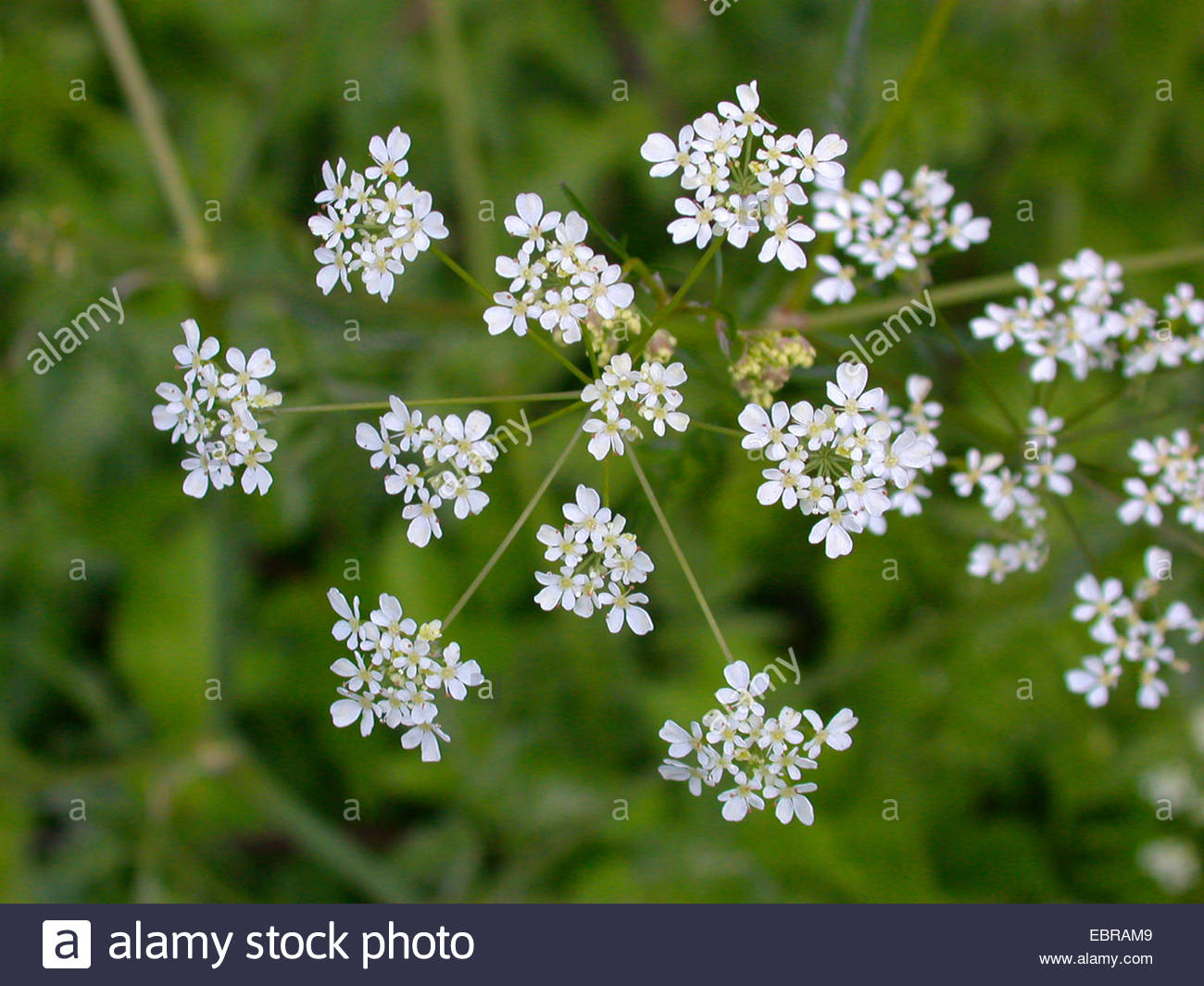 Closeup Of White Wild Chervil Or Cow Parsley Flowers In Woodland.