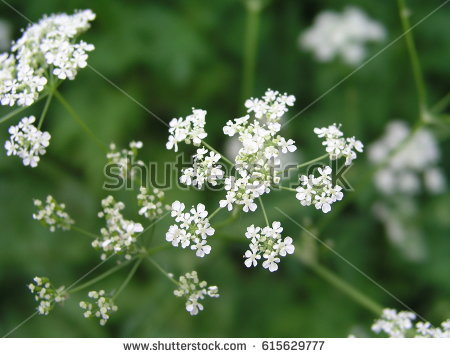 Chervil Stock Images, Royalty.