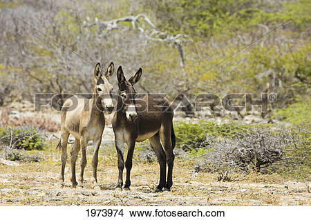 Stock Photo of Caribbean, Bonaire, Wild Donkeys; Netherlands.