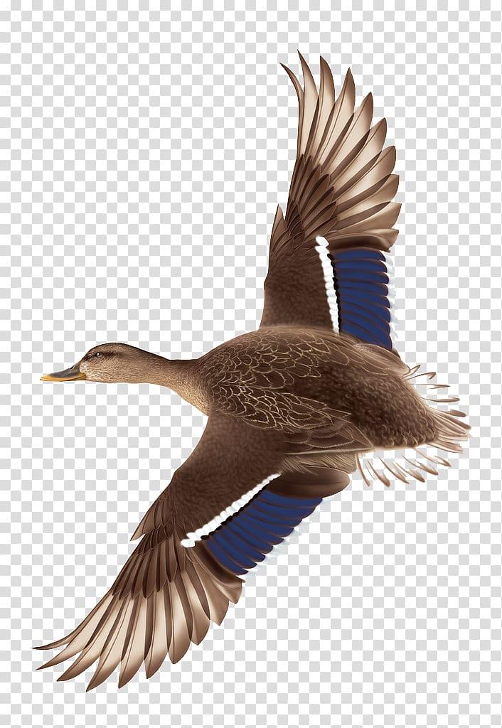 Brown and blue duck, Duck Flight Mallard, Hand drawn flying.