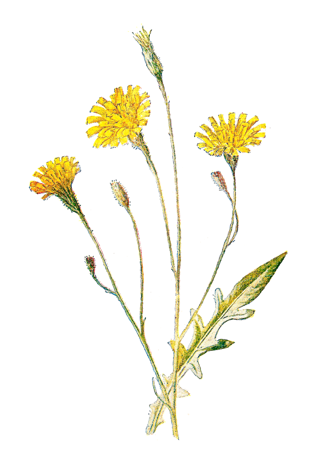 Wild Flowers Png (+).