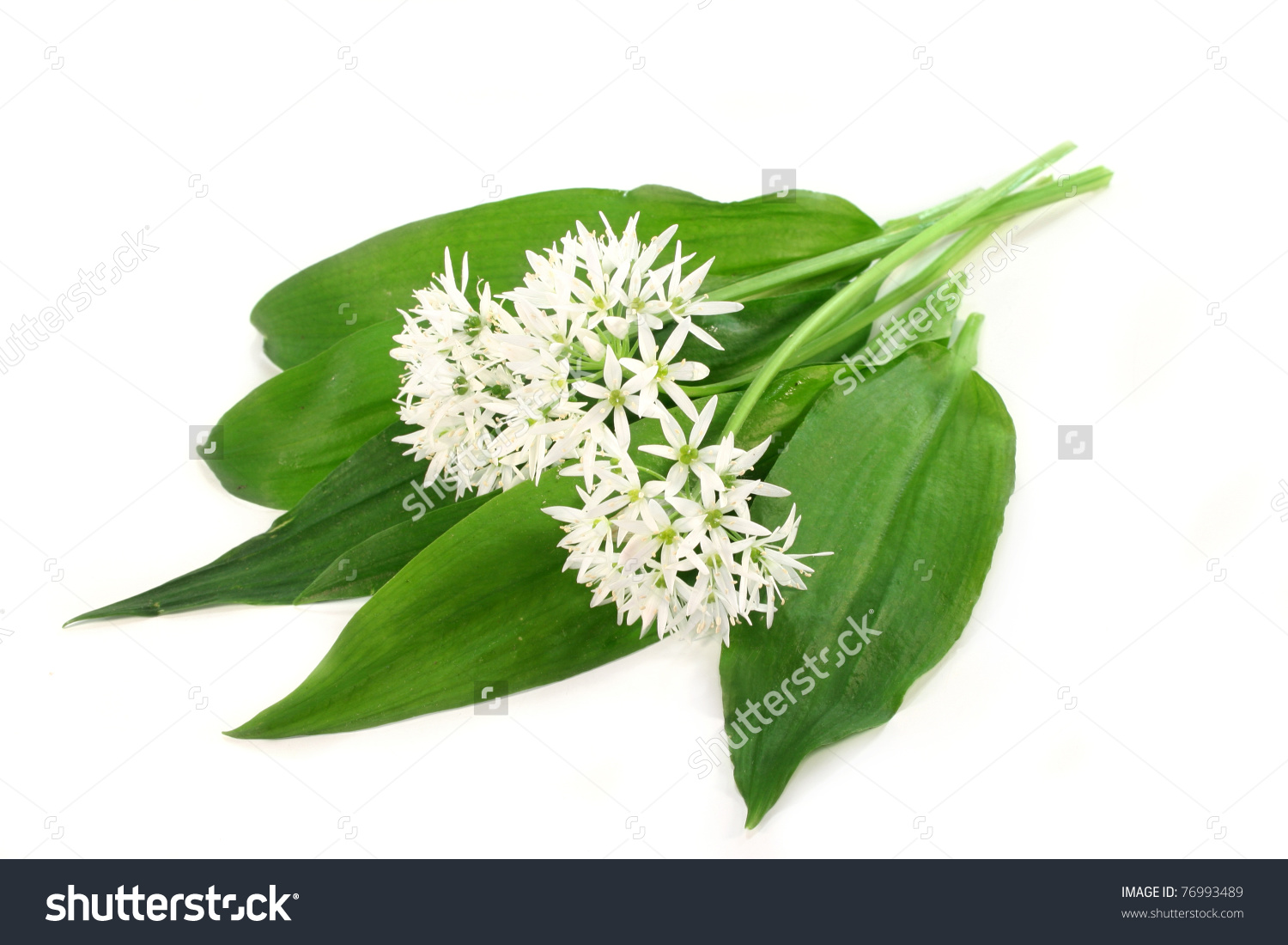 Fresh Wild Garlic Leaves With Flowers On A White Background Stock.