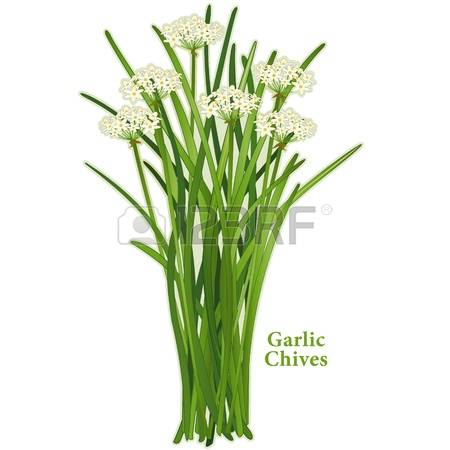 82 Wild Onion Stock Vector Illustration And Royalty Free Wild.