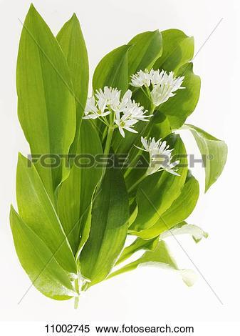 Stock Image of Ramsons (wild garlic) with flowers 11002745.