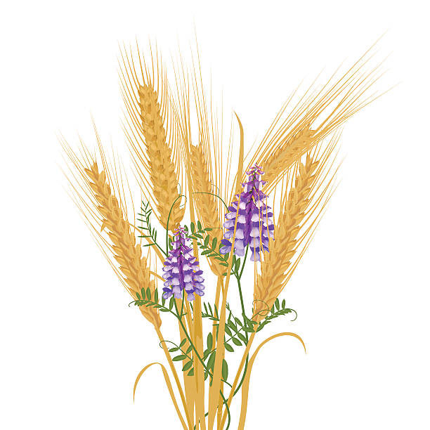 Wild Vetch Clip Art, Vector Images & Illustrations.