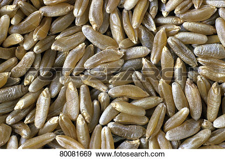 Stock Photograph of DEU, 2005: Wild Wheat, Wild Einkorn (Triticum.