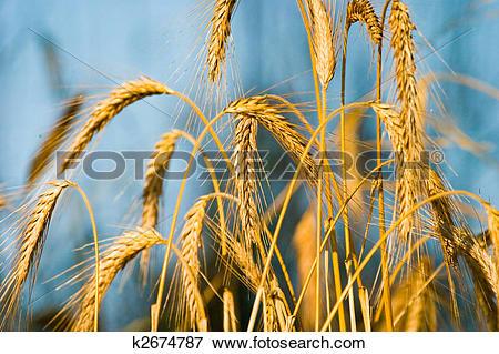 Picture of wild grain k2674787.