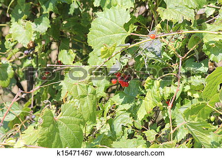Picture of Wild Grape Vine with Climbing Night k15471467.