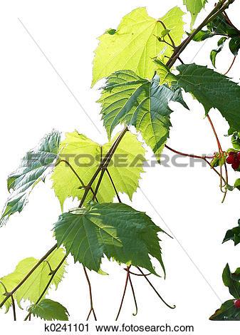 Stock Photography of wild grape vine k0241101.