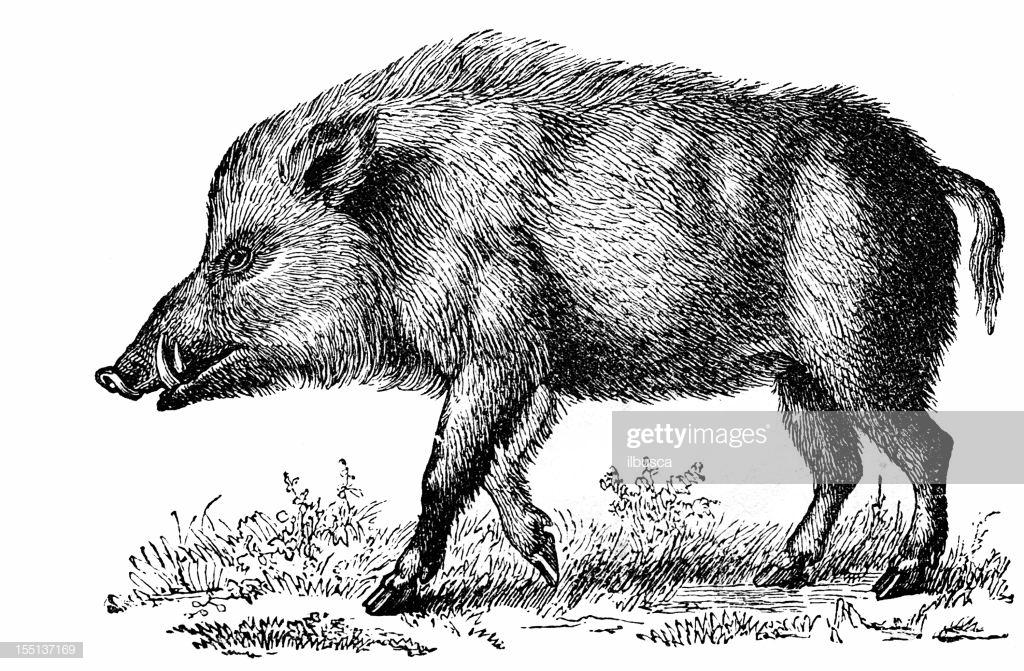 60 Top Wild Boar Stock Illustrations, Clip art, Cartoons, & Icons.