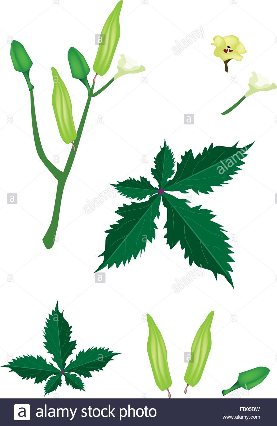 Vegetable and Herb, Vector Illustration Parts of Okra or Lady.