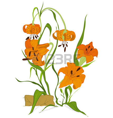 Wild Tiger Lilies Stock Photos Images. 105 Royalty Free Wild Tiger.