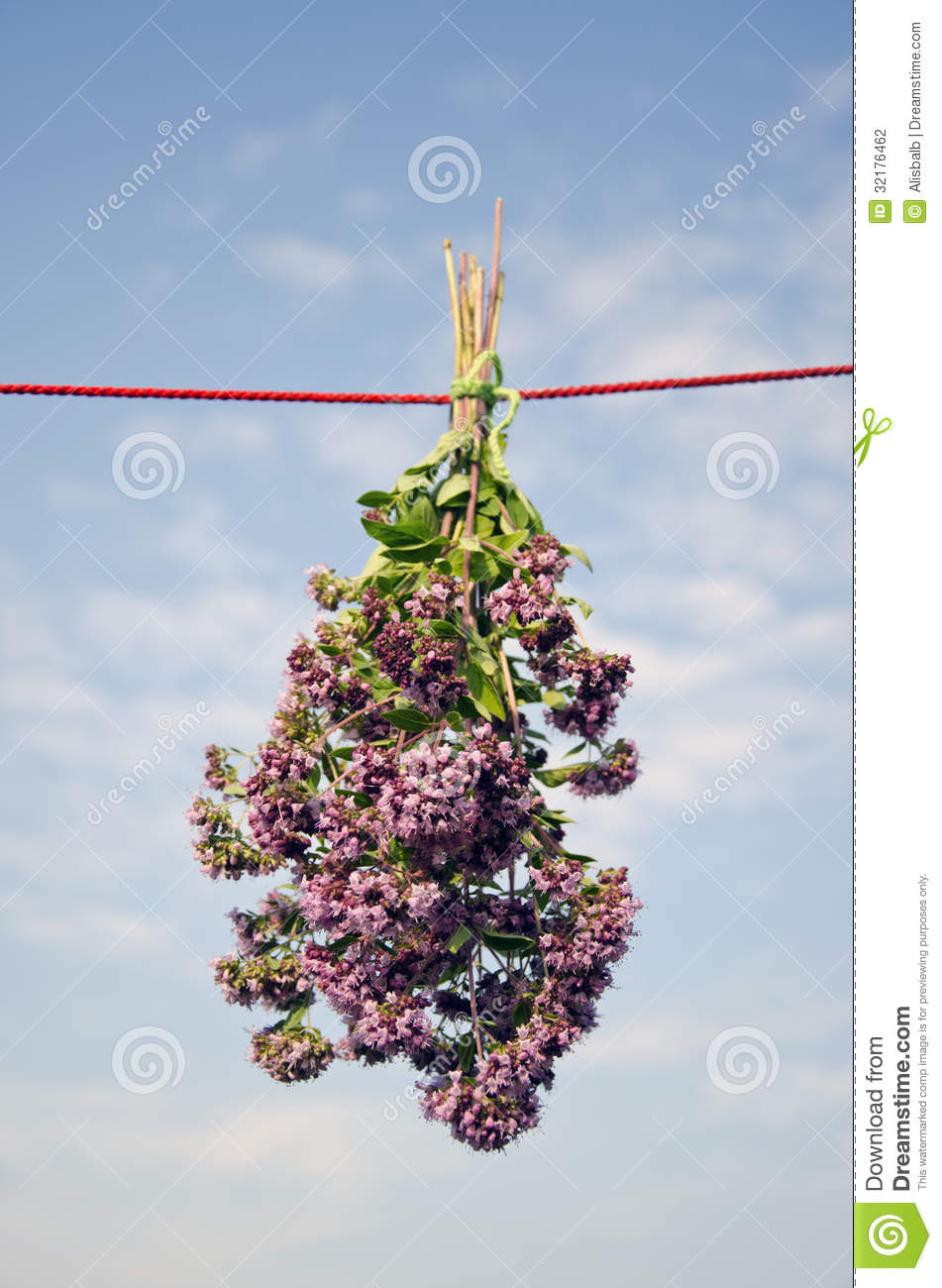 Fresh Wild Marjoram Flowers Bunch On Clothes String Stock.