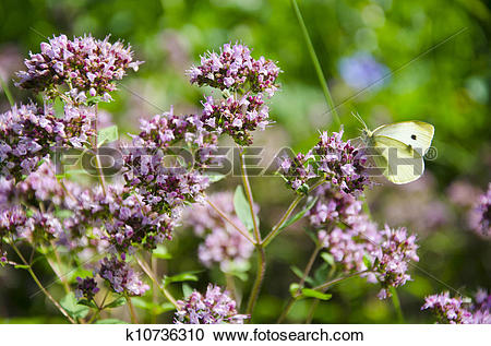 Stock Photography of wild marjoram blossoms in garden and.