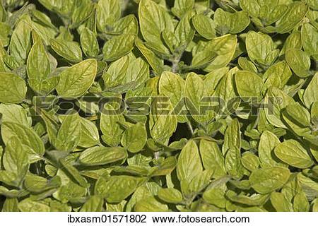 Stock Photo of Wild marjoram or Oregano (Origanum vulgare.