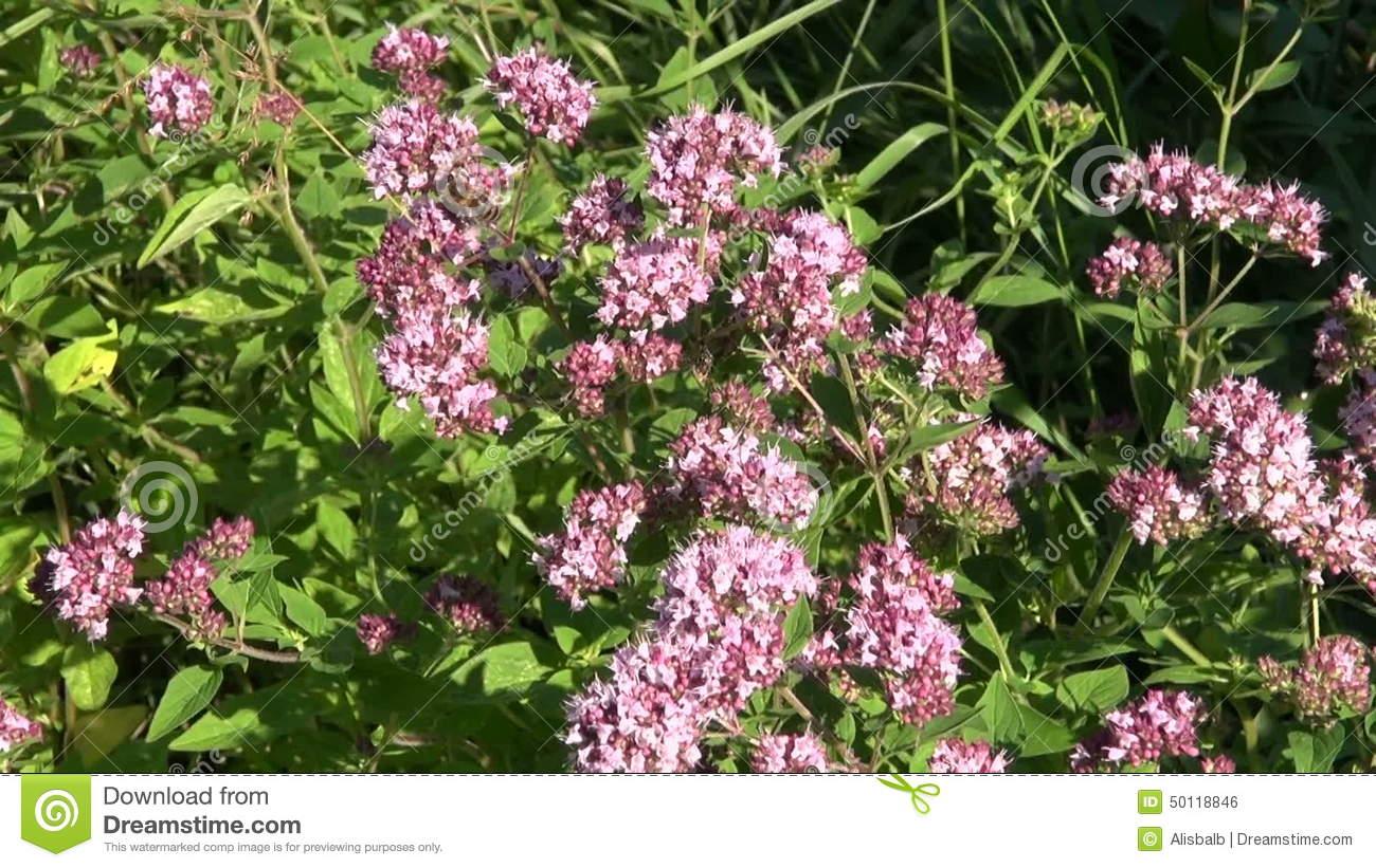 Medical Herb Wild Marjoram Oregano (Origanum Vulgare) And Bee.
