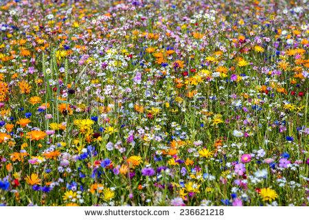 Wildflower Meadow Stock Photos, Royalty.