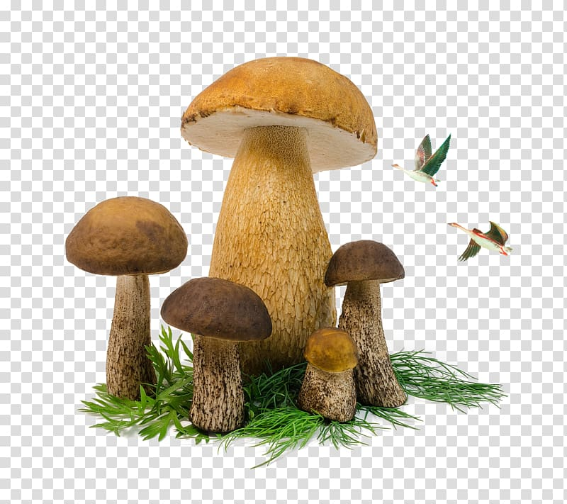Edible mushroom Penny bun Fungus, Mushrooms and birds.