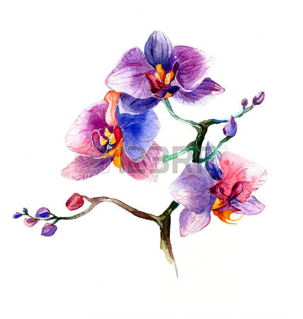 613 Wild Orchid Stock Vector Illustration And Royalty Free Wild.