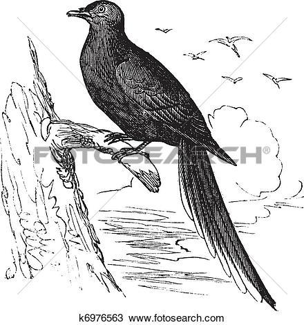 Clipart of Passenger Pigeon or Wild Pigeon (Ectopistes migratorius.