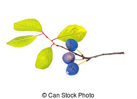 Stock Photo of Berries of wild plum.