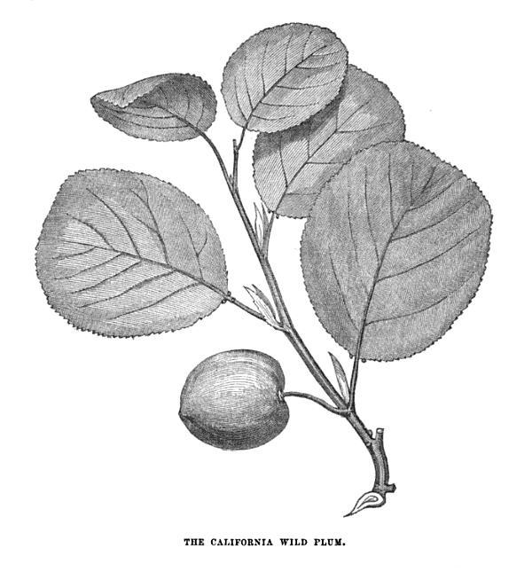 19th_century_knowledge_wild_plants_california_wild_plum.jpg.