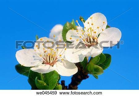 Stock Photograph of Wild Plum (Prunus domestica). Bavaria, Germany.