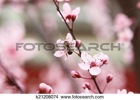 Stock Photo of Wild plum k21208074.