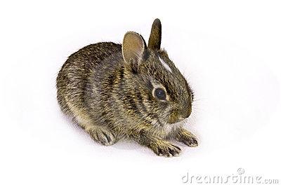 Baby Wild Rabbit Stock Image.
