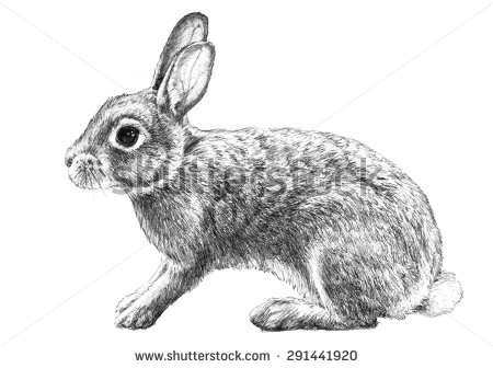 cottontail rabbit illustration, hand drawn pencil sketch isolated.