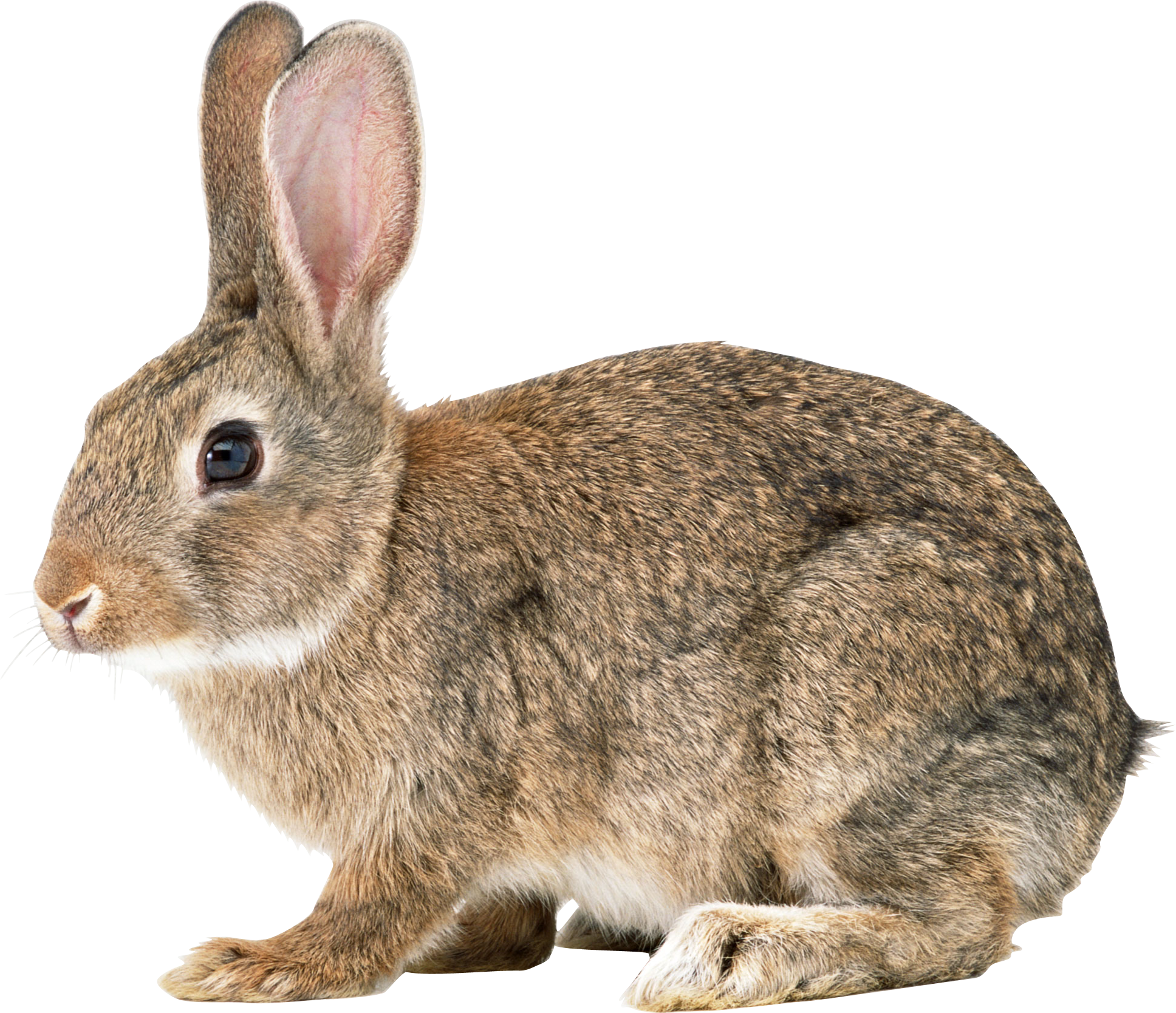 Rabbit PNG images, free png rabbit pictures download.