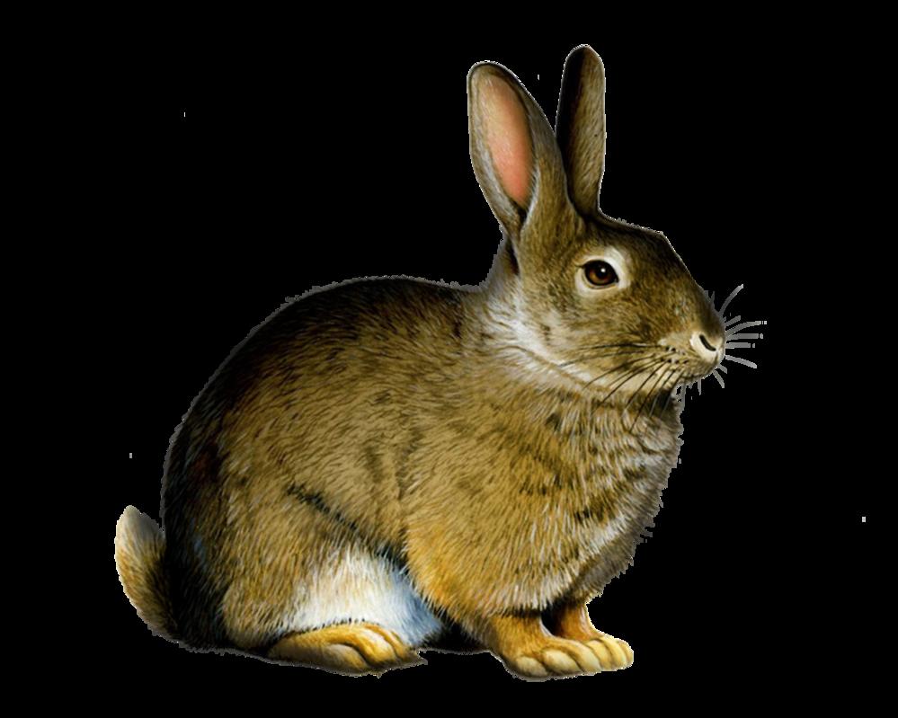 Wild Rabbit Clipart
